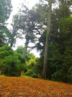 Thomson's bush
