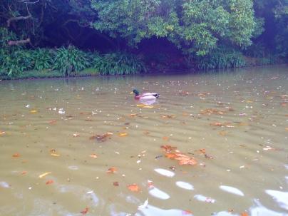 Anderson Park Ducks