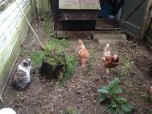 cat meets chickens