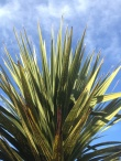 young Cabbage trees