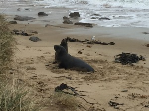 Seals at Waipapa Point
